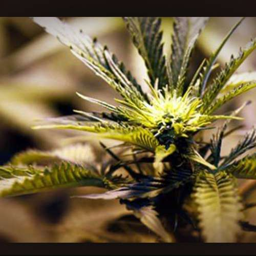 Shariah Decision _Hemp oil extracted from seeds_No.DSH_19/2016